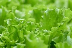 Grünpflanzen des Kopfsalates wachsen im Garten Lizenzfreie Stockfotografie