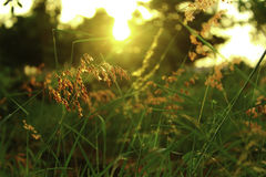 Grünpflanzen des Wiesensonnenuntergangs stockfotos
