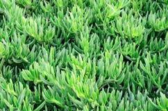 Grünpflanzenahaufnahme auf einem vollen Hintergrund Stockfotografie