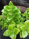 Grünpflanzeschönheit Lizenzfreie Stockbilder