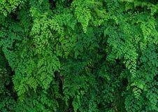 Grünpflanzewand schwarzen Maidenhair-Farns Lizenzfreies Stockfoto