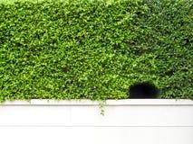 Grünpflanzewand und -loch auf weißer Betonmauer Stockbild