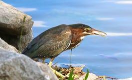 Grünreiher, der einen Fisch isst Lizenzfreie Stockfotografie
