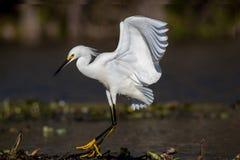 Grünreiher, der nach Fischen in einem Sumpf in Florida sucht stockfoto
