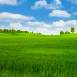 Grünroggenfeld mit Wald weit weg Lizenzfreie Stockbilder