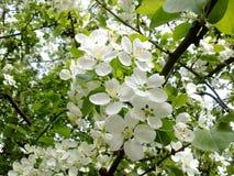 grünt blühender Apfelbaum des Frühlinges im Blütenbaumblütenlaubfrühling blühende Bäume der Frühlingsblüten Stockfotos