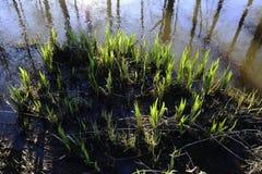 Grüntrieb auf dem Ufer während des Hochwassers Lizenzfreies Stockfoto