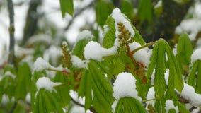 Grüntrieb werden mit Schnee bedeckt stock video footage