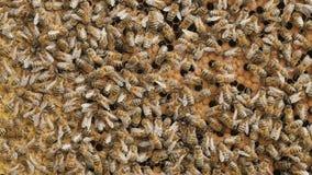 grże pszczoły zbierający gromadzenia się miodowi w honeycombs w ogródzie, pasieka, życie insekty, pszczoły rodzina, pojęcie piękn zbiory wideo
