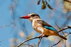 grå hövdad kingfisher Arkivfoto