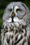 grå owlsiberian Arkivbild