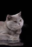 Grå brittisk katt på en studio Royaltyfri Bild