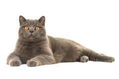Grå brittisk shorthairkatt som ner ligger Royaltyfria Bilder