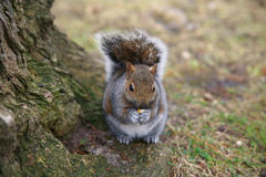 grå ekorre Royaltyfri Foto