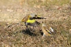 Grå färg-capped Greenfinch Royaltyfri Bild
