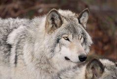 Grå färgwolf i höst Royaltyfri Bild