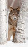 Grå färgwolfen (Canislupus) ser mellan två björkTrees Royaltyfria Bilder