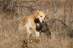 GR Golden Retriever with pheasant. Golden retriever retrieving pheasant during field trial competition Stock Photography