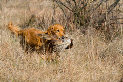 GR Golden Retriever with pheasant. GR Golden Retriever in field with pheasant retrieved during field trial competition Stock Photo