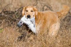 GR Golden Retriever with pigeon. Golden retriever retrieving pigeon during field trial competition Royalty Free Stock Photos