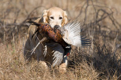 GR Golden Retriever with retrieved pheasant. Golden Retriever retrieving pheasant during field trial competition Royalty Free Stock Photography
