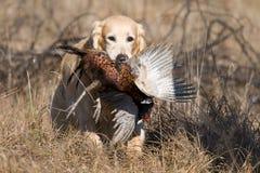 GR-goldener Apportierhund mit zurückgeholtem Fasan Lizenzfreie Stockfotografie