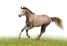 grå häst Arkivfoto