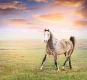 Grå hästspringtrav på pature över solig molnhimmel Arkivbilder