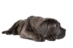 Grå hund för rottingcorsovalp Royaltyfria Bilder