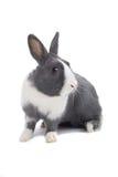grå kanin Royaltyfri Bild
