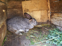 grå kanin för stor doe Royaltyfri Foto