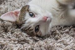 Grå katt för vit med stora ögon som vilar på mattan Arkivbilder