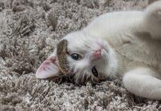 Grå katt för vit med stora ögon som vilar på mattan Arkivfoton