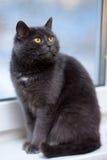 Grå katt med orange ögon Fotografering för Bildbyråer