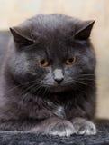 Grå katt med orange ögon Arkivfoto