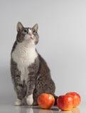 Grå katt på bakgrund med det röda äpplet Royaltyfria Foton