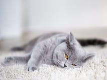 Grå katt som lägger på golvet Royaltyfria Bilder