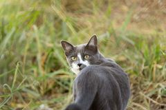 Gr? katt som tillbaka ser p? f?ltet med h?gv?xt gr?s royaltyfria bilder