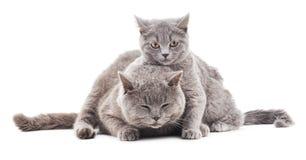 Grå katt två Arkivbilder
