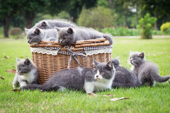 Grå kattunge i korgen Royaltyfria Foton