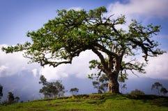 Gr Lechero, een heilige boom van een lokale mythologie in Otavalo, Ecuador royalty-vrije stock fotografie