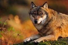 grå lupuswolf för canis Royaltyfri Fotografi