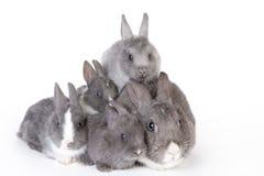 Grå moderkanin med fyra kaniner Arkivbild