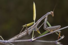 Gr? gr?n b?nsyrsareligiosamantidae som poserar p? en filial royaltyfria bilder