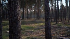 Gr?n Forest Pine Trees Fairy Forest or?rd gran Skogmodell lager videofilmer
