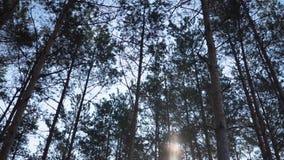 Gr?n Forest Pine Trees Fairy Forest or?rd gran Skogmodell arkivfilmer