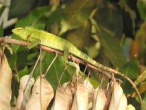 Gr?n kameleontn?rbild som sitter p? en filial i djunglerna av Sri Lanka arkivbilder