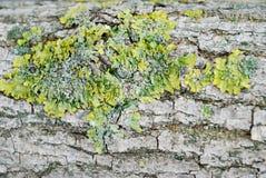 Gr?n moss p? sk?llet av en tree royaltyfri fotografi