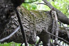 Gr?n moss p? sk?llet av en tree royaltyfri bild