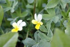 Gr?n ny v?xt av sl?ktet Trifolium som v?xer i tidig v?r Kan anv?ndas som en bakgrund eller en textur, n?rbild royaltyfri bild